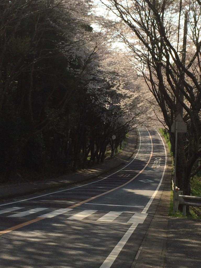 多古町 八田桜通り2